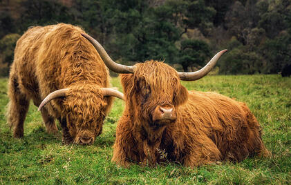 Highland Cattle 02