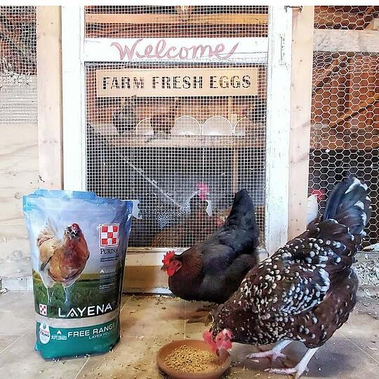 Hens need an appropriate nutrition plan