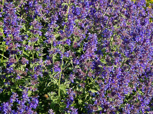 Walkers Deep Blue Catmint