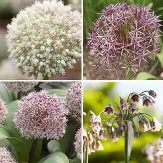 Alliums make great accents