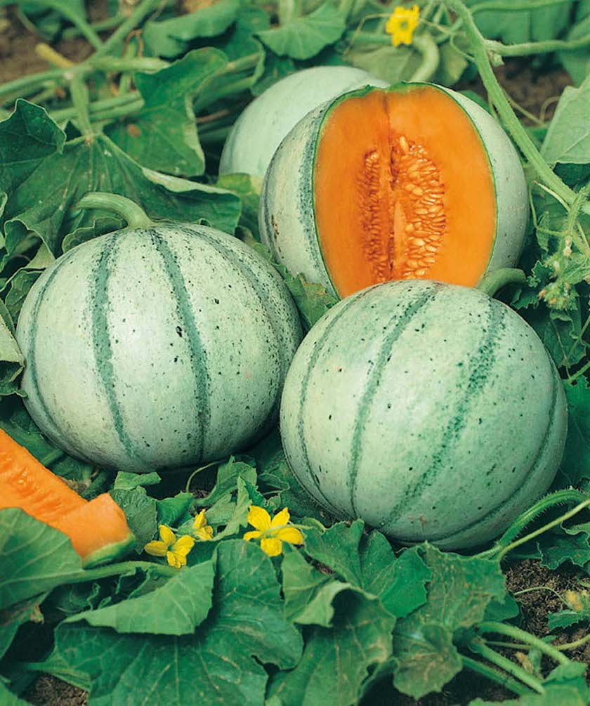 Cantaloupe for small spaces