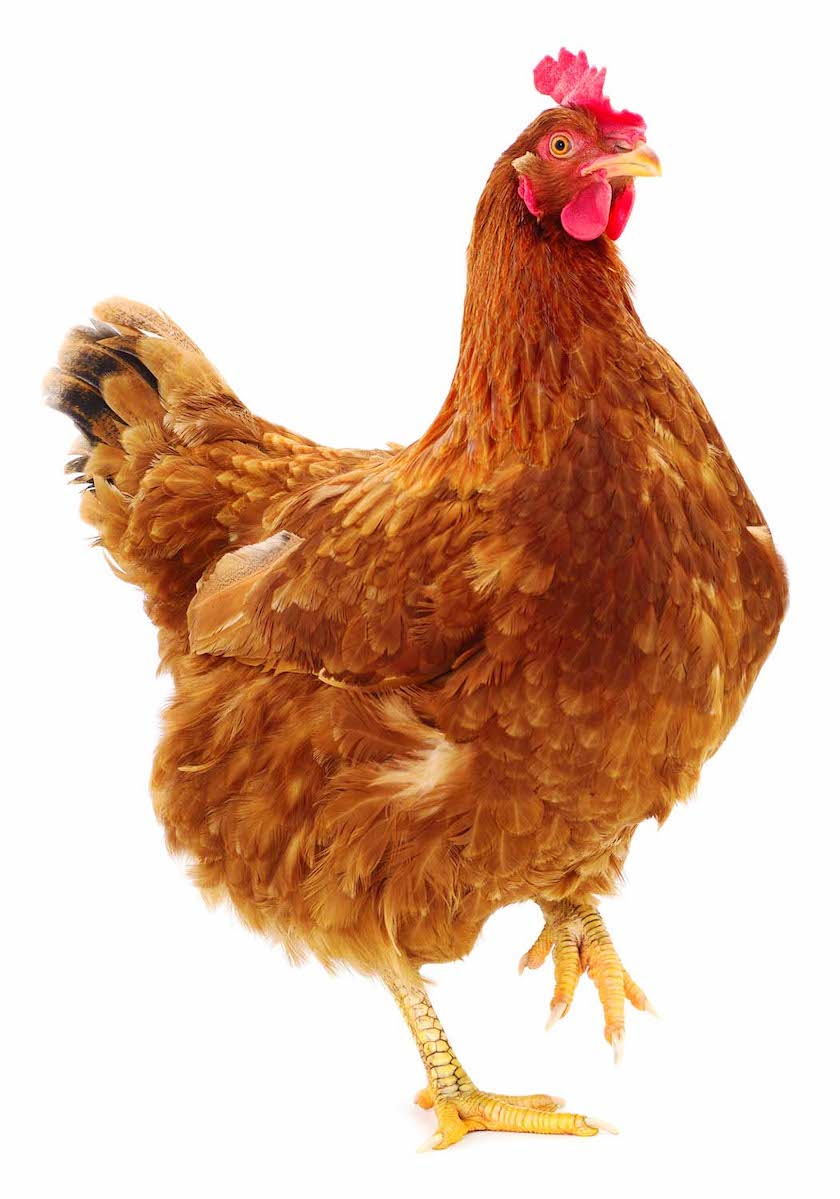 Molt is an annual reproductive reset for hens