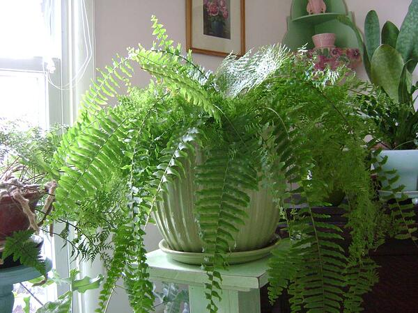 boston fern near window