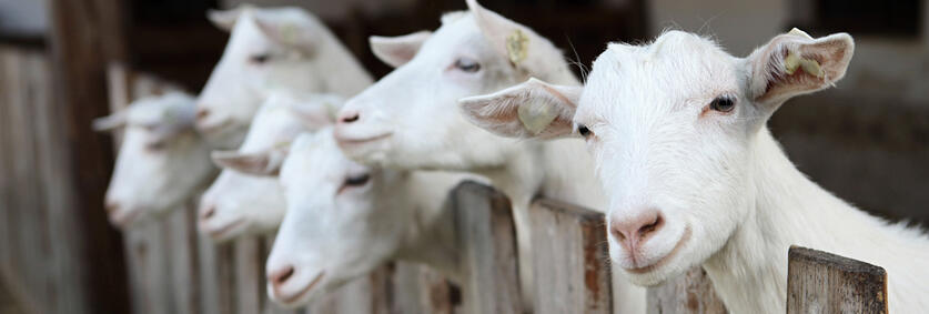 know about goats 02