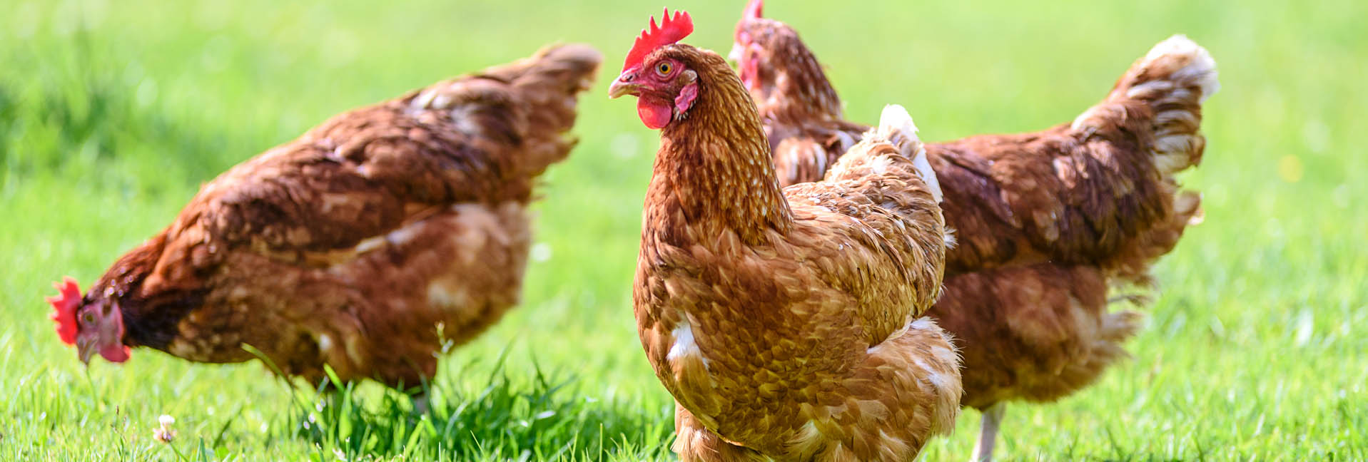 Coccidiosis In Chickens     Transmission, diagnosis, and treatment