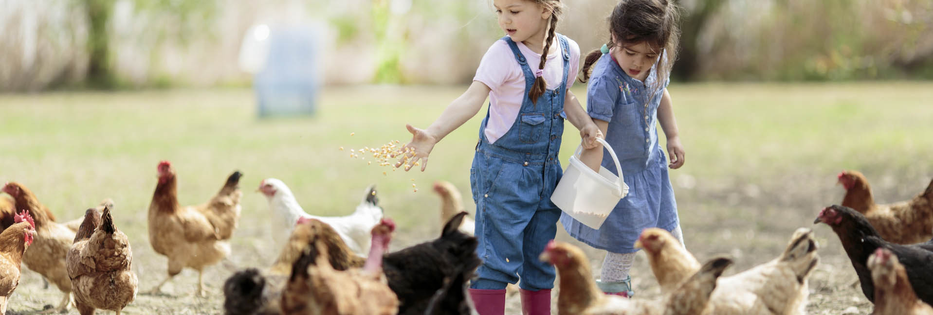 LearnAboutChickens