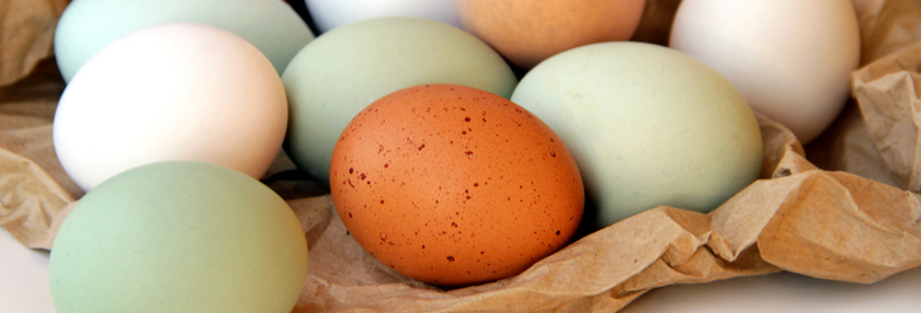 Colorful eggs from Easter Egger chicken breeds