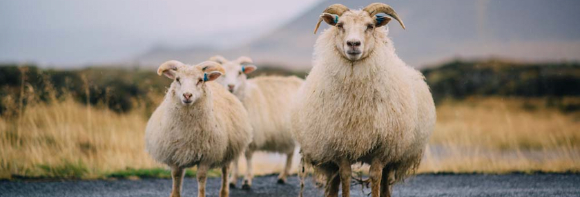 three Icelandic sheep