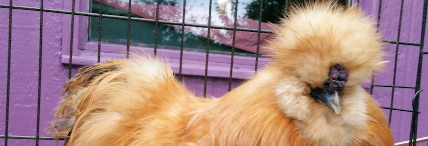 silkie in cage
